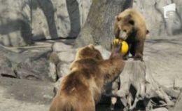 """Pasionaţi de volei, aceşti urşi au devenit """"sportivi de performanţă"""" – FOTO"""
