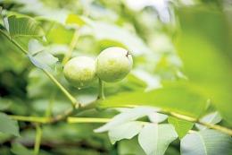 Nucile verzi țin bolile departe